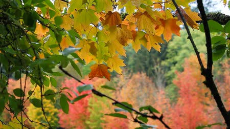 lombhullató : High definition movie of out of focus bokeh maple trees foliage in colorful autumn fall season 1080p Stock mozgókép