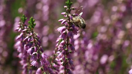 High definition 1080p video of honey bee pollinating flowering Heather shrub with bokeh background one summer afternoon