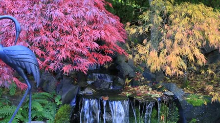 High definition movie of red and green laced maple trees over water feature in backyard garden in colorful autumn season 1920x1080 HD Стоковые видеозаписи