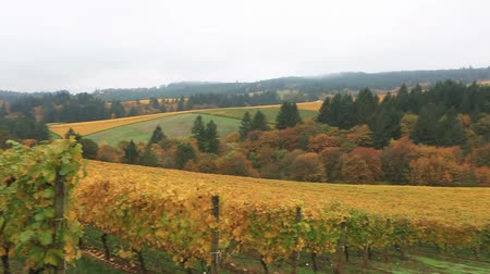 Closeup panning movie of expansive view of vineyards in Dundee Oregon USA during colorful fall season 1080p HD America