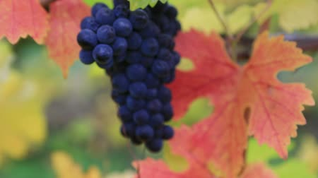 High definition closeup blurry bokeh into focus video of a bunch of grapes on grapevine plants with colorful fall leaves in autumn season Dundee Oregon USA 1080p HD Стоковые видеозаписи