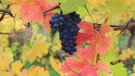 winogrona : High definition movie zooming out of grape-bearing vines with a bunch of dark red grapes in colorful fall autumn season 1080p Wideo