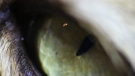 temor : eye of a tabby cat in a macro close up, look at the camera Stock Footage