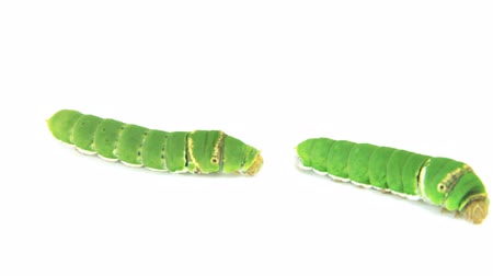 hernyó : Green Caterpillar