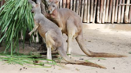 australiano : Red canguri