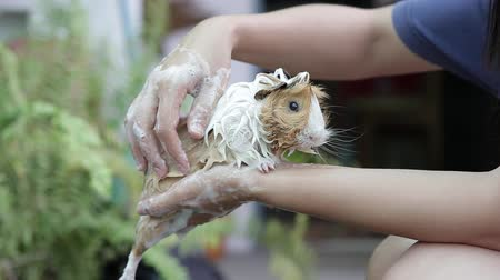 świnka morska : The three color cavy taking a bath with bath foam