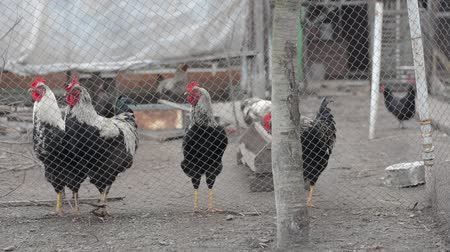 rosół : Poultry yard: a group of hens in the cage.