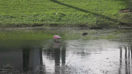 roseate spoonbill bird on a pond in Florida Stok Video