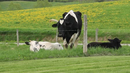 kanada : Holstein Friesians cattle breed in the pasture footage.  They are known as the worlds highest-production dairy animals