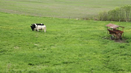 Holstein Friesians cattle breed in the pasture footage.  They are known as the worlds highest-production dairy animals