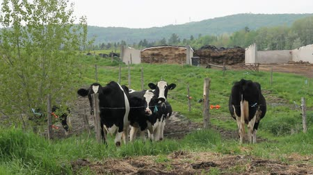 Holstein Friesians cattles in the pasture