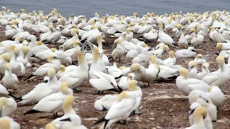 gannets birds colony at Bonaventure Island Quebec Canada at summer daytime footage with audio Stok Video
