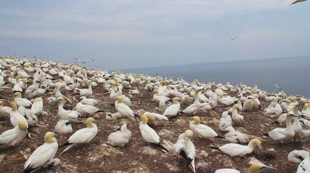gannets birds colony at Bonaventure Island Quebec Canada footage Stok Video