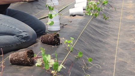 Farm worker preparing and transplanting organic new cubios plants using a black plastic  Tropaeolum tuberosum Stok Video