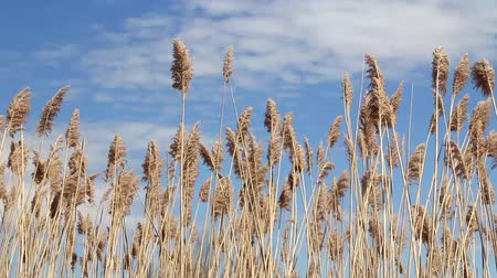 Common reed Phragmites australis over a blue sky summer day  waving in the wind Stok Video