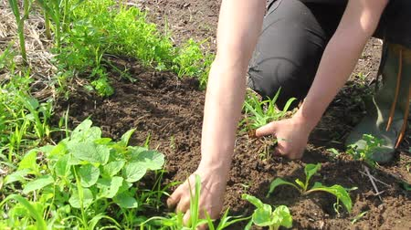farmer woman pulling out weeds in the vegetable garden Stok Video