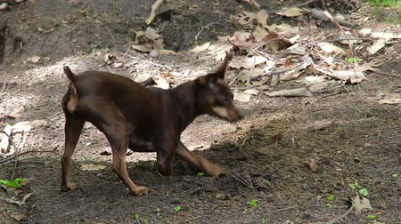 miniature Pinscher dog who digs in the dirt Stok Video