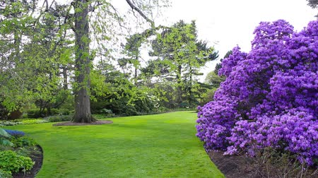 leylak : Beautiful lilac rhododendron blossom in botanic garden HD footage