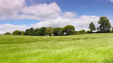 parque eólico : Green field of barley blowing in the wind and blue sky HD