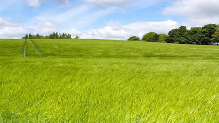 parque eólico : Green field of barley blowing in the wind in motion and blue sky HD