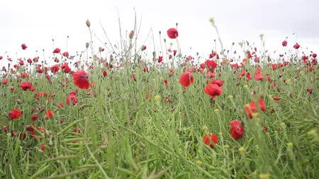 vento : Red Poppies Meadow In The Wind, Hd Footage