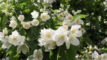 philadelphus blossoms : False jasmine, Mock orange Philadelphus HD footage Stock Footage