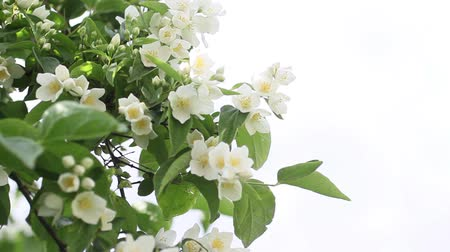 aromaterapia : False jasmine, Mock orange Philadelphus HD footage Wideo