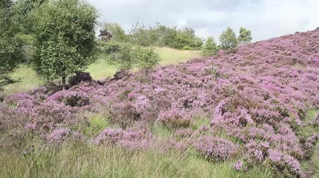 wrzos : Scottish hills with blooming heather and trees, HD footage