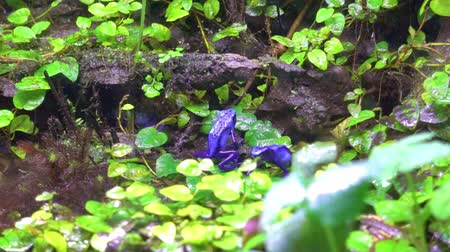 anura : exotic Blue poison frog in wet rainforest Stock Footage