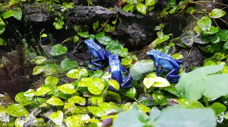 kurbağa : Tiny poisoned blue frogs on a wet rock forest
