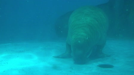 rookery : Walrus driving in water in under water