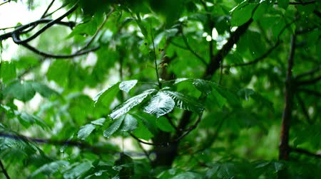 esőerdő : pure rain water is poured on the fresh trees leaves in summer forest, with beautiful bokeh