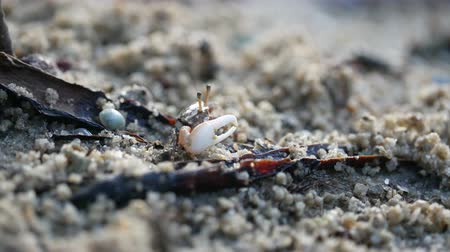 korýš : small crap with colorful carapace moving claw and eating food on sand ground floor