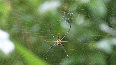 jedovatý : yellow black spider with white spot and red on bottom sitting on cobweb waiting for bait food. Spiderweb move by soft wind with green background. Spider move above. Dostupné videozáznamy