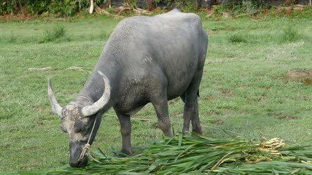 hovězí : buffalo with long horn standing and  eating grass food in meadow
