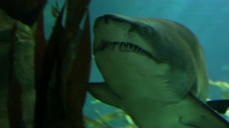 yaban hayatı : Shark in underwater wild life Stok Video