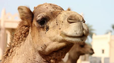 tunesie : Camel in woestijn Stockvideo