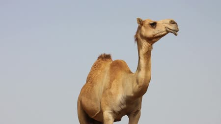camelo : Camel in desert Stock Footage