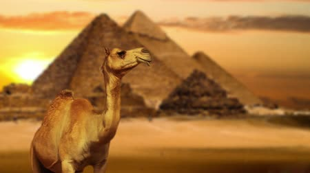 piramit : Camel in desert Stok Video
