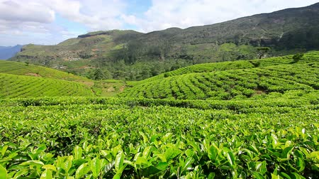 grüner tee : Sri Lanka Tea Garden Berge in Nuwara eliya Videos