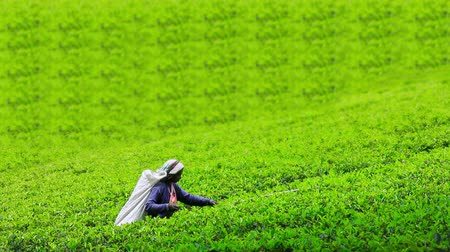 plantio : worker collecting tea in sri lanka Stock Footage