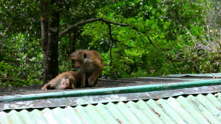 vida selvagem : monkeys cleaning louse in sri lanka