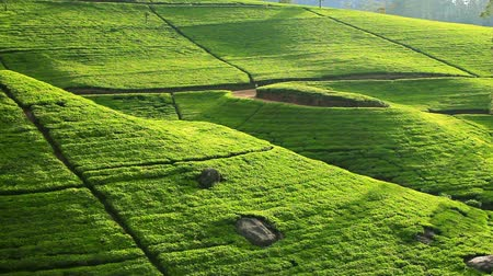 plantio : Sri Lanka tea garden mountains in nuwara eliya Stock Footage