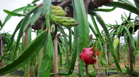 фрукты : exotic dragon fruit garden