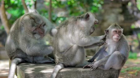 monkey temple : monkey family cleaning louse