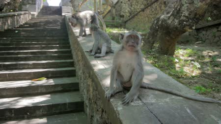 monkey temple : monkeys in uluwatu temple, bali Stock Footage