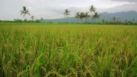arrozal : beautifful campos de arroz en bali