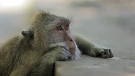 monkey temple : monkey thinking in uluwatu temple, bali Stock Footage