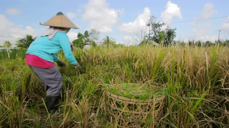 coconut palm tree : agriculture workers on rice field in bali Stock Footage