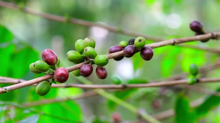 plantio : fresh coffee seeds on tree